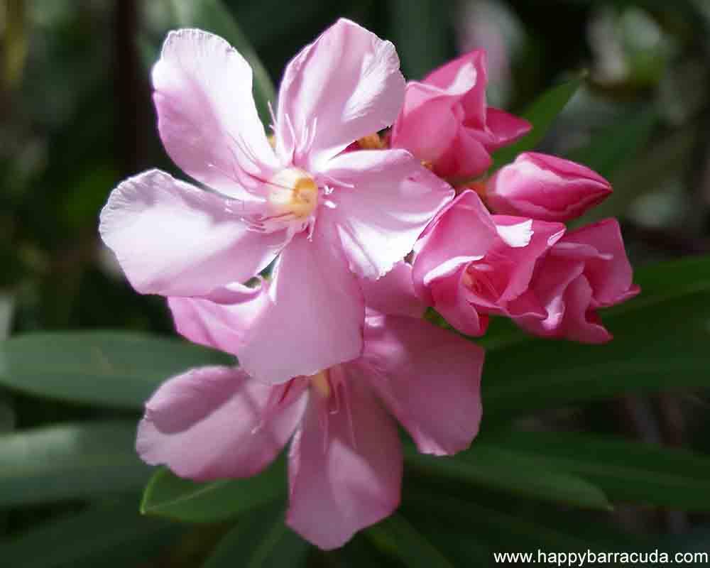 St. Lucia Flowers - Oleander