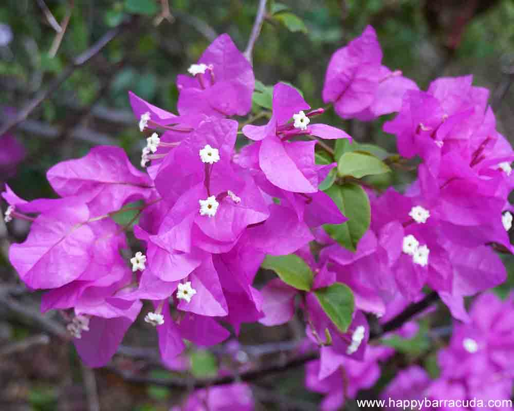 St. Lucia Flowers - Bougainvillea