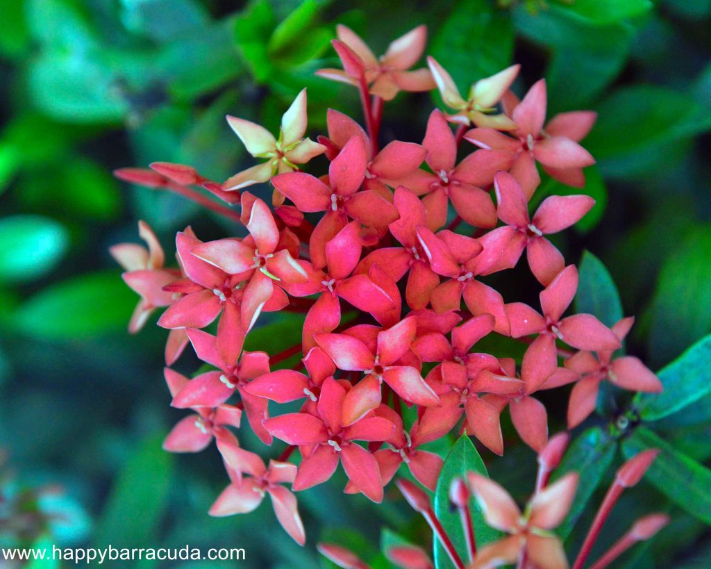 St. Lucia FLowers, Ixora or West Indian Jasmin